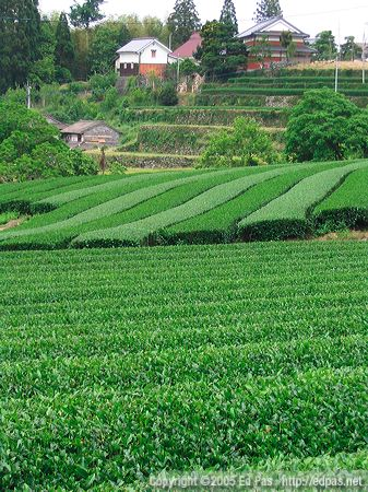 photo of tea farms in the hills between Ukiha City and Hoshino Village
