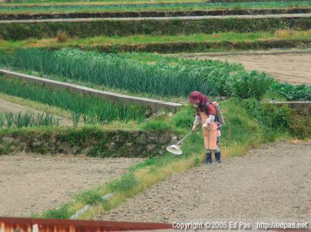 a woman spraying herbicide on the divider between fields in Kokura Minami
