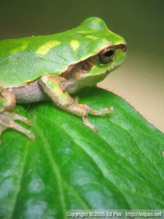 closeup of a small frog sitting on a leaf