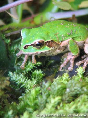 closeup of a frog sitting in moss