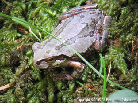 closeup of a grey frog sitting in moss
