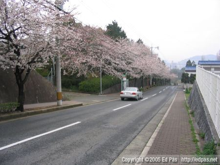 A view down the hill, showing the sakura-lined road that leads to the school
