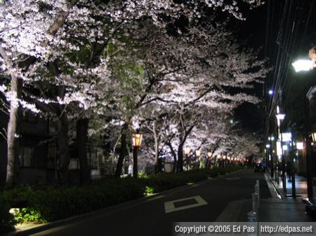 photo of cherry blossoms at night in Kyoto