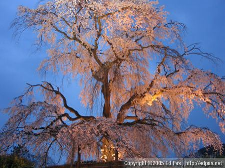 photo of giant cherry tree in park near Kyoto Gion